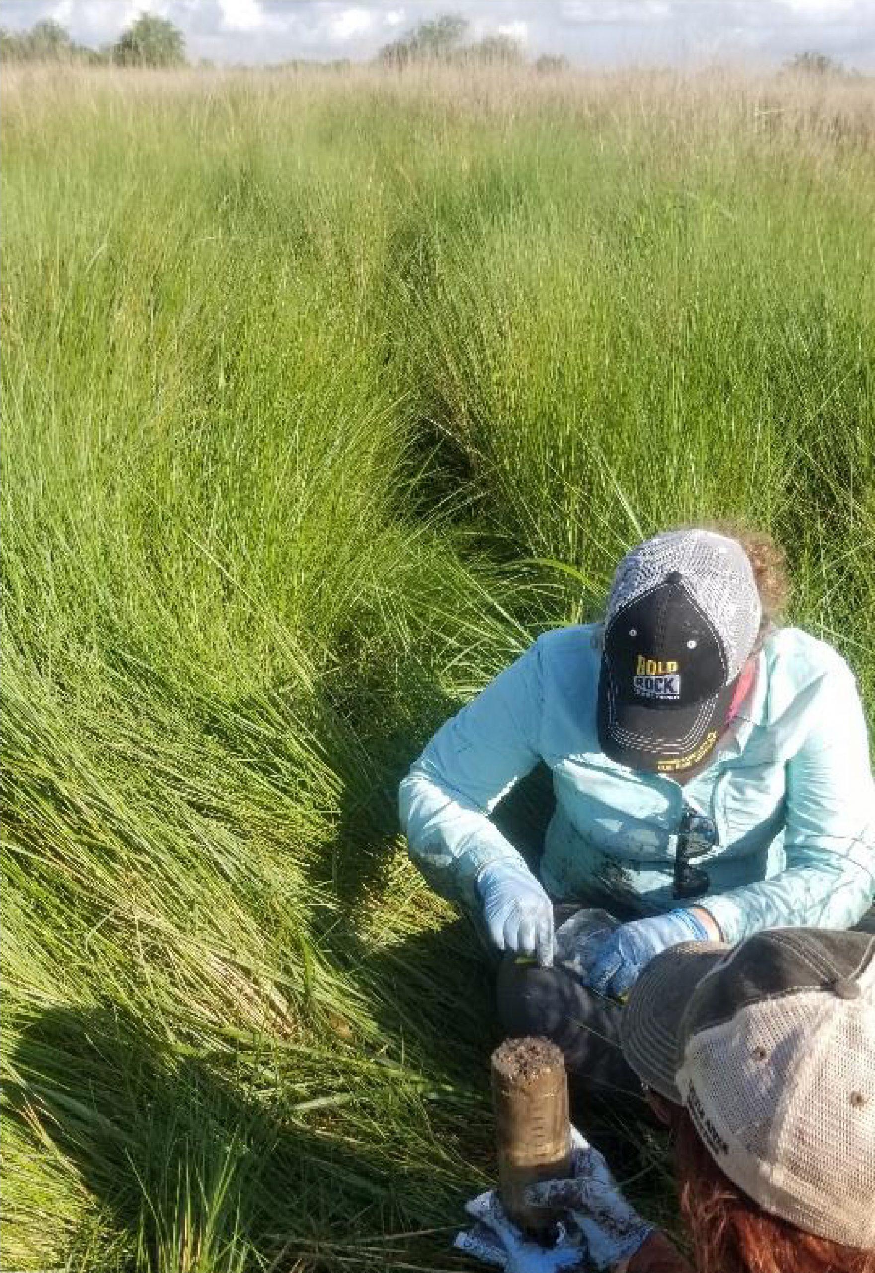 Sampling soil from the lush vegetation on a natural marsh. Credit: Annette Engel